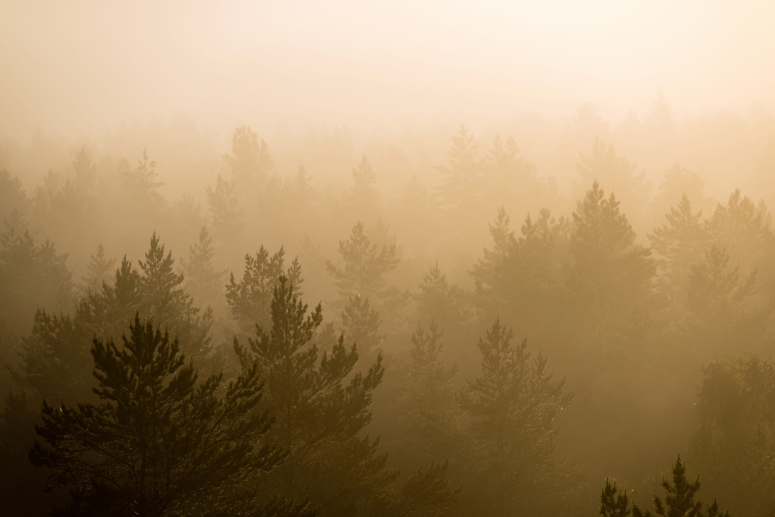 panoramic view of misty forest at majestic sunrise over trees. far horizon with light rays and lens flare effect